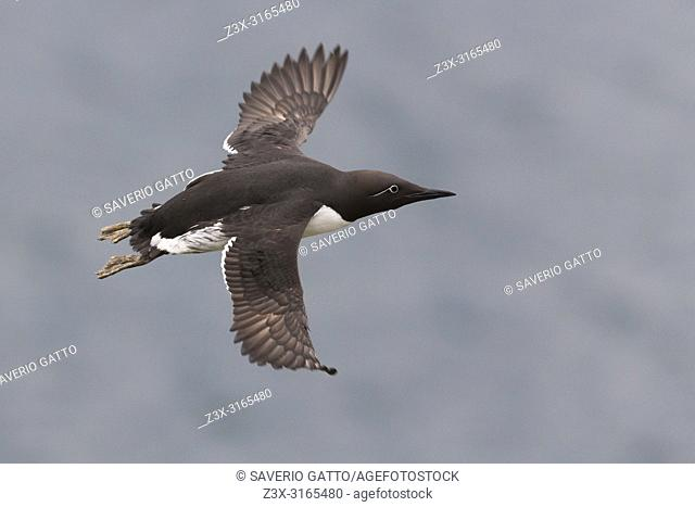 Common Murre (Uria aalge), adult in flight