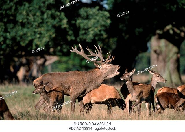 Red Deer belling male with females Cervus elaphus