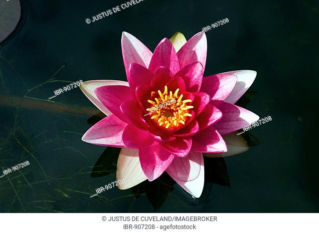 Flowering Water Lily Cultivar Attraction (Nymphaea hybrid Attraction)