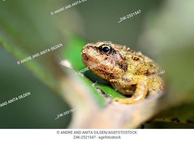 Common frog (Rana temporaria) portrait, close up in a leaf, with shallow depth of field, Netherlands