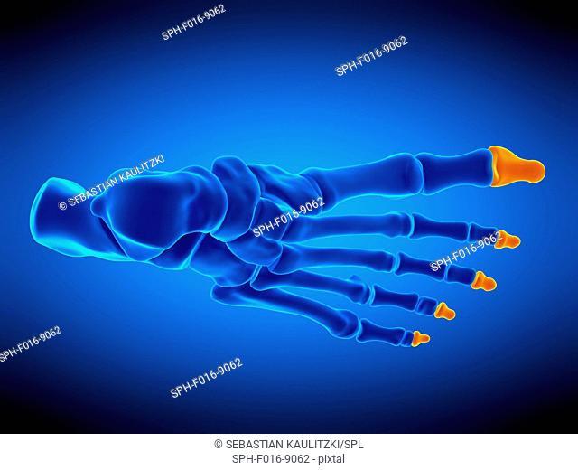 Illustration of the distal phalanx bones