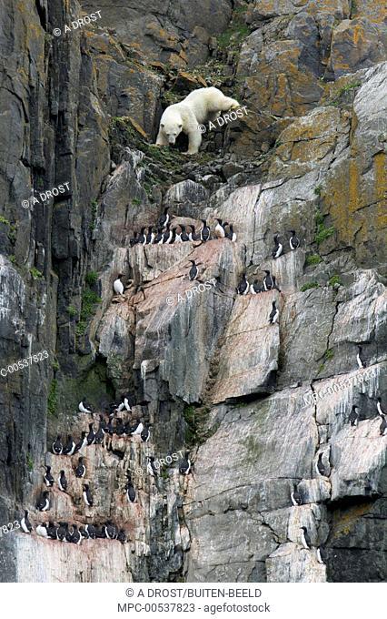 Polar Bear (Ursus maritimus) climbing down cliff to hunt Brunnich's Guillemot (Uria lomvia) chicks, Alkefjellet, Norway
