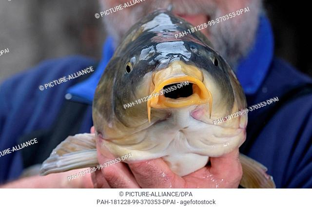 28 December 2018, Saxony-Anhalt, Muldestausee: Inland fisherman Tom Bernau keeps a mirror carp in his company. He's selling over two tons of carp this year