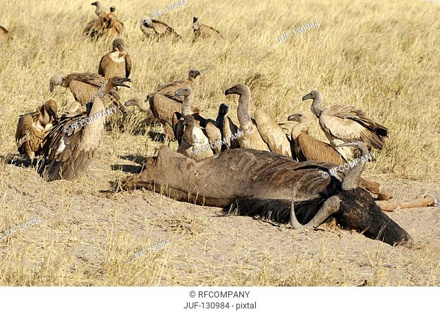 white-backed vultures next to carcass / Gyps africanus