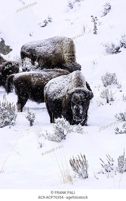 Tg(Bison bison), Wildlife of Yellowstone Park at Lamar Valley Mammoth Falls , Wyoming USA