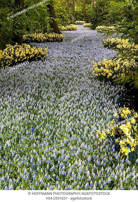 Beautiful blooming flowers in the famous Keukenhof (Keukenhof Gardens), The Netherlands, Europe