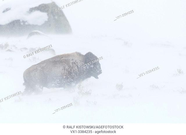 American Bison (Bison bison) in a blizzard, harsh winter weather, walking through blowing snow, Yellowstone NP, Wyoming, USA.