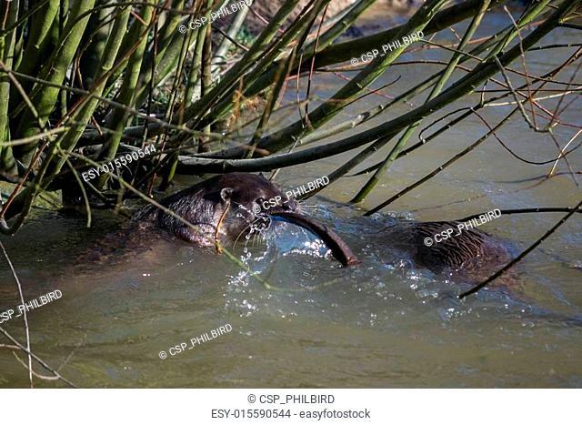 Eurasian Otter (Lutra lutra) in natural habitat