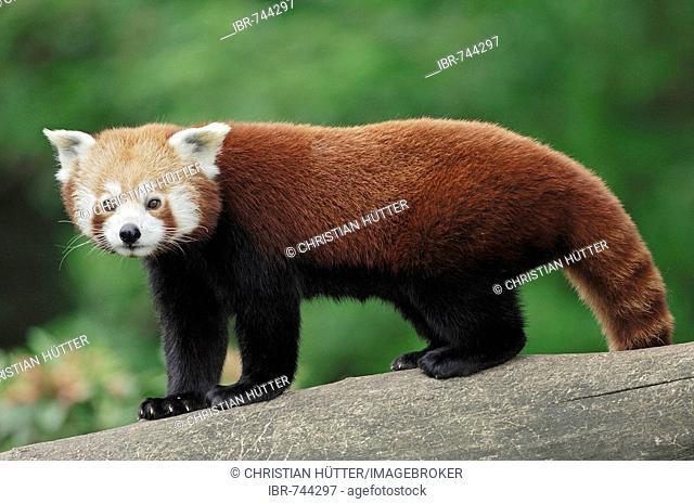 Lesser Panda, Red Panda (Ailurus fulgens)