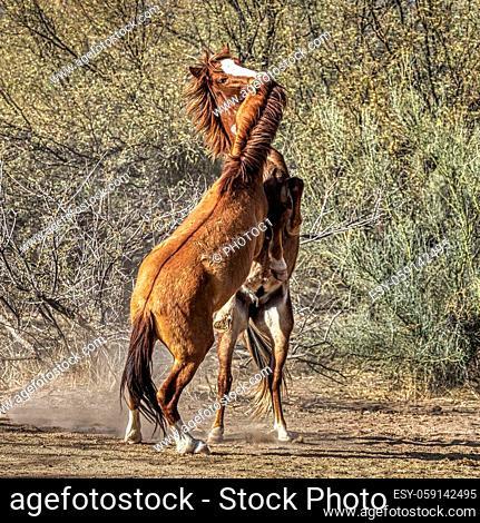 Salt River Wild Horses in Tonto National Forest near Phoenix, Arizona