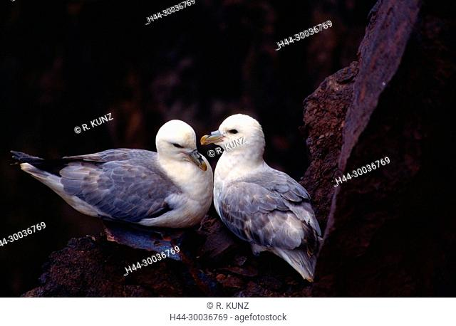 Northern Fulmar, Fulmarus glacialis, Procellariidae, couple, nest site, bird, animal, St. Abb's Head, Scotland, Great Britain