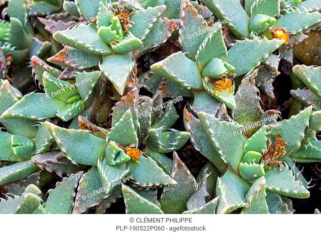 Tiger Jaws (Faucaria felina) succulent plant endemic to South Africa