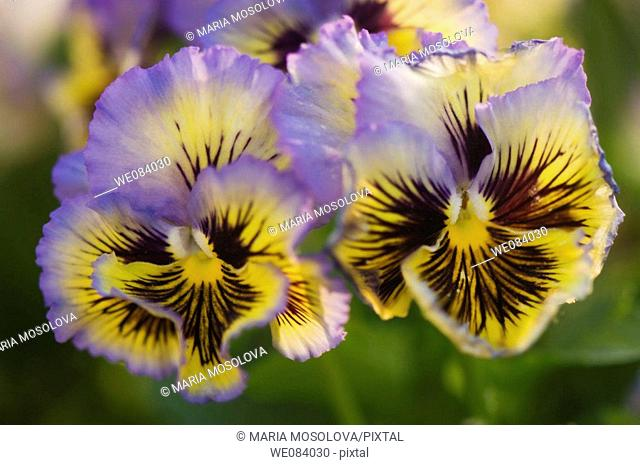 Two Lavender Blue and Yellow Pansies with Dark Whiskers. Viola x wittrockiana