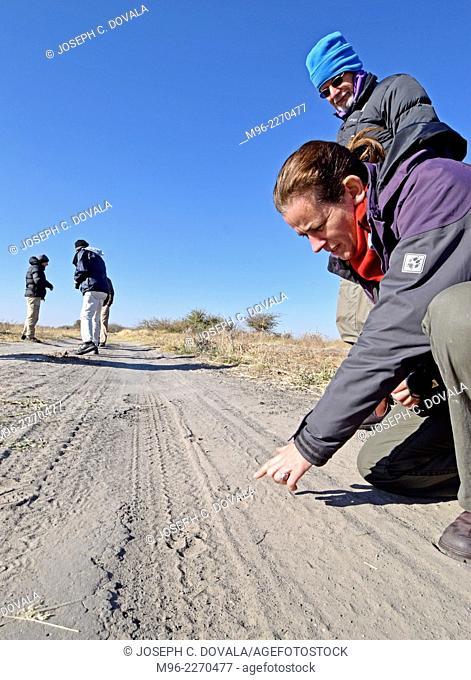 Tourists practicing tracking on road, Hwange, Zimbabwe, Africa