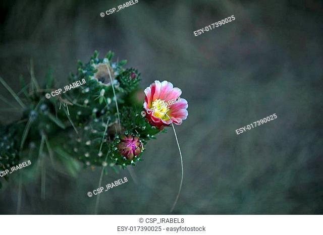 Cactus blossoms on dark background