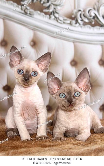 2 Devon Rex kitten