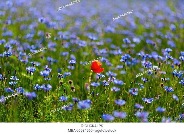 Europe, Italy, Umbria, Perugia district, Castelluccio of Norcia Flower period