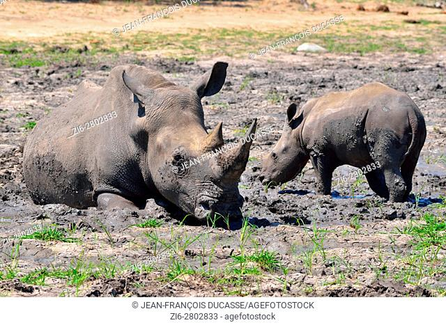 White rhinoceroses or Square-lipped rhinoceroses (Ceratotherium simum), mother with calf, in the mud, nervous, Kruger National Park, South Africa, Africa
