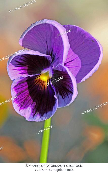 Wishbone Flower, Torenia fournieri