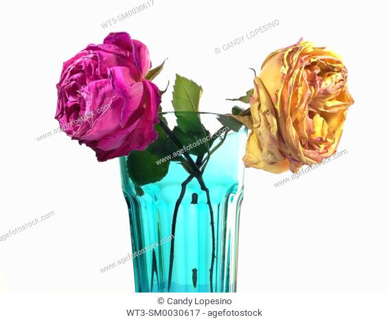 A yellow rose and a pink rose with green leaves in a blue glass vase on white background
