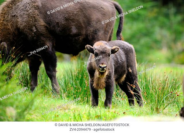 European bison (Bison bonasus) calf standing on a meadow in the Bavarian Forest National Park, Germany