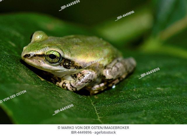 Frog (Boophis microtympanum), Isalo National Park, Madagascar
