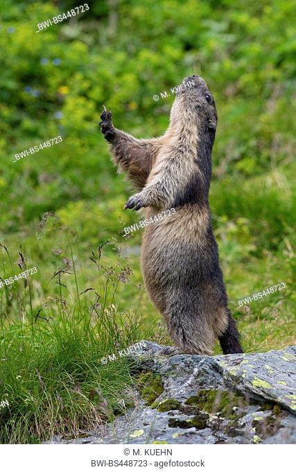 alpine marmot (Marmota marmota), standing erect and breathe air, Austria