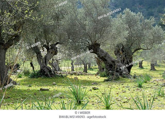 olive tree Olea europaea ssp. sativa, old olive trees, Spain, Majorca