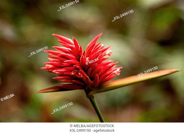 Heliconia del Amazonas