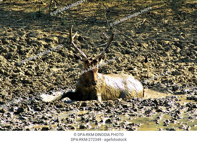 Male Sambar deer, Ranthambore Wildlife Sanctuary, Rajasthan, India, Asia