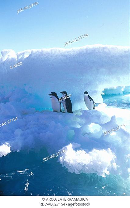 Adelie Penguins Antarctica Pygoscelis adeliae