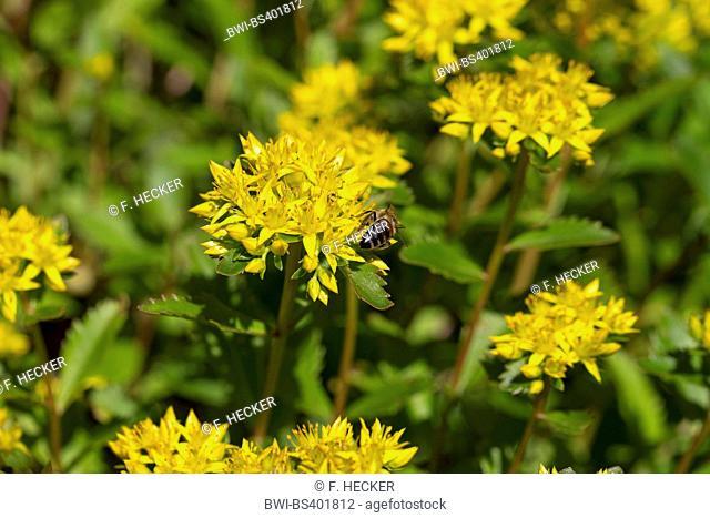 reflexed stonecrop, stone orpine, crooked yellow stonecrop, Jenny's stonecrop (Sedum rupestre, Sedum reflexum), blooming, Germany