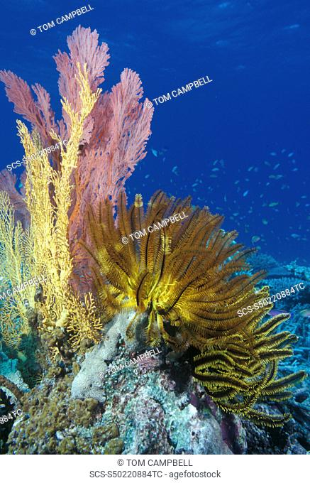 Crinoids & soft corals on reef Indo Pacific