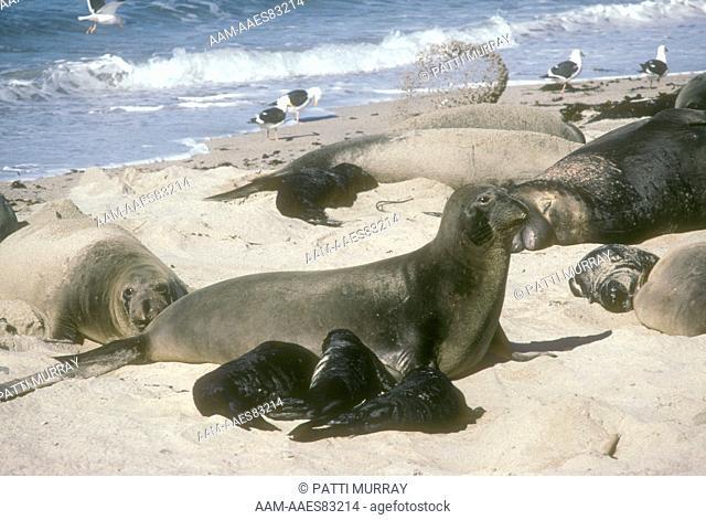 N Elephant Seals (Mirounga angustirostris) Female & 3 Babies, San Nicholas Is, CA, California