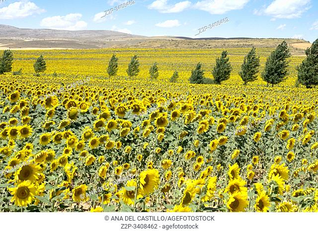 Beautiful landscape of sunflowers in summer El Pobo Teruel Aragon Spain
