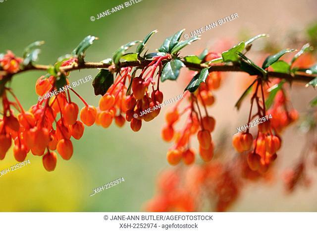 orange berberis in Spring bud