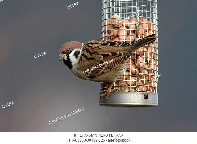 Eurasian Tree Sparrow Passer montanus adult, feeding on peanuts from feeder in garden, Leicestershire, England, january