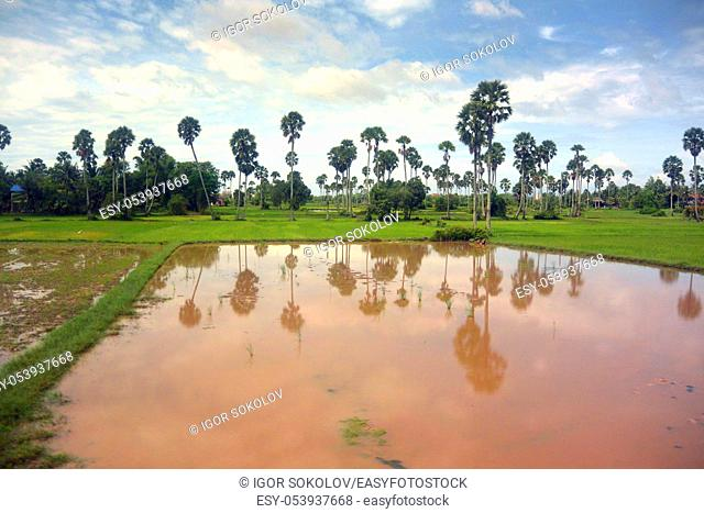 Landscape of Southeast Asia in the rainy season 9, palm trees on the shore of a red water pond, Cambodia