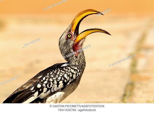 Southern Yellow-billed Hornbill Tockus flavirostris, Mabuasehube, Kgalagadi Transfrontier Park, Botswana