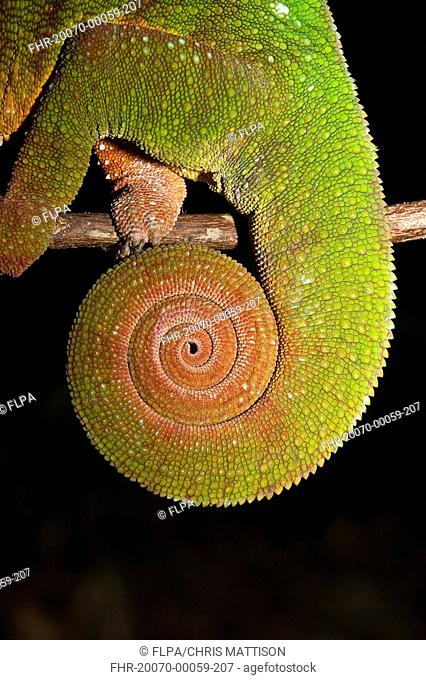 Panther Chameleon Furcifer pardalis adult, close-up of coiled tail, Nosy Mangabe, Madagascar