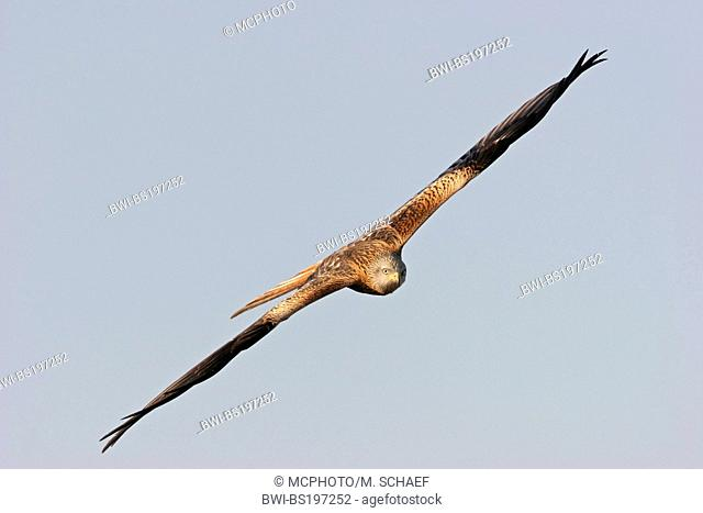 red kite (Milvus milvus), flying, Germany, Hesse