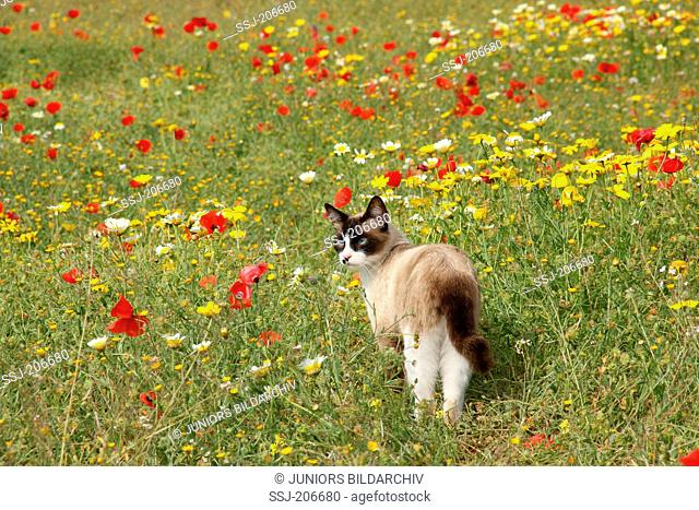 Domestic cat. Adult with a point coloration standing in a flowering meadow. Spain