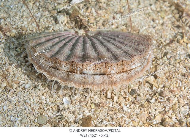 Queen scallop or Manx queenie (Aequipecten opercularis) in the sand. Northern Atlantic, Norway, Europe