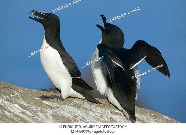 A pair of razorbills during courtship, North Atlantic ocean