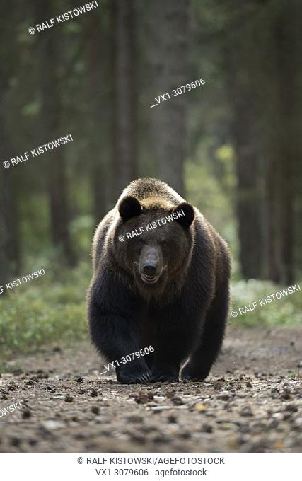 European Brown Bear ( Ursus arctos ) taking its way on a path through a forest, dangerous encounter, wildlife, Europe.