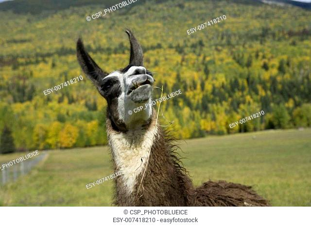 Llama looking up