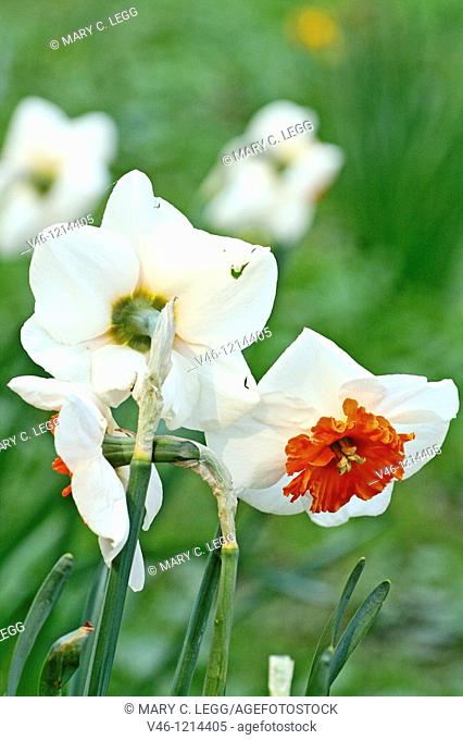 Group of narcissus with orange centers standing in deep grass in a park  Early spring flowers brighten landscape after long winter days  A few flowers stand...