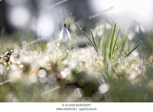 snowdrops, Galanthus, morning dew, back light, reflexions
