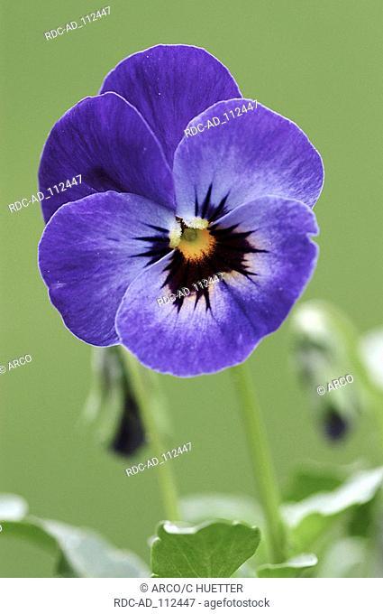 Pansy Viola spec