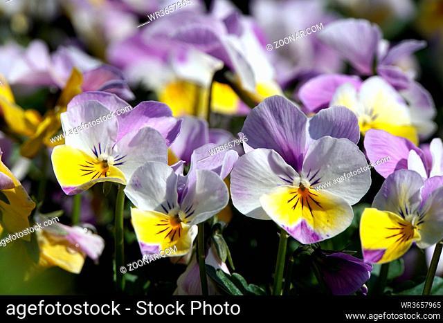 Hornveilchen, Horn-Veilchen (Viola cornuta)